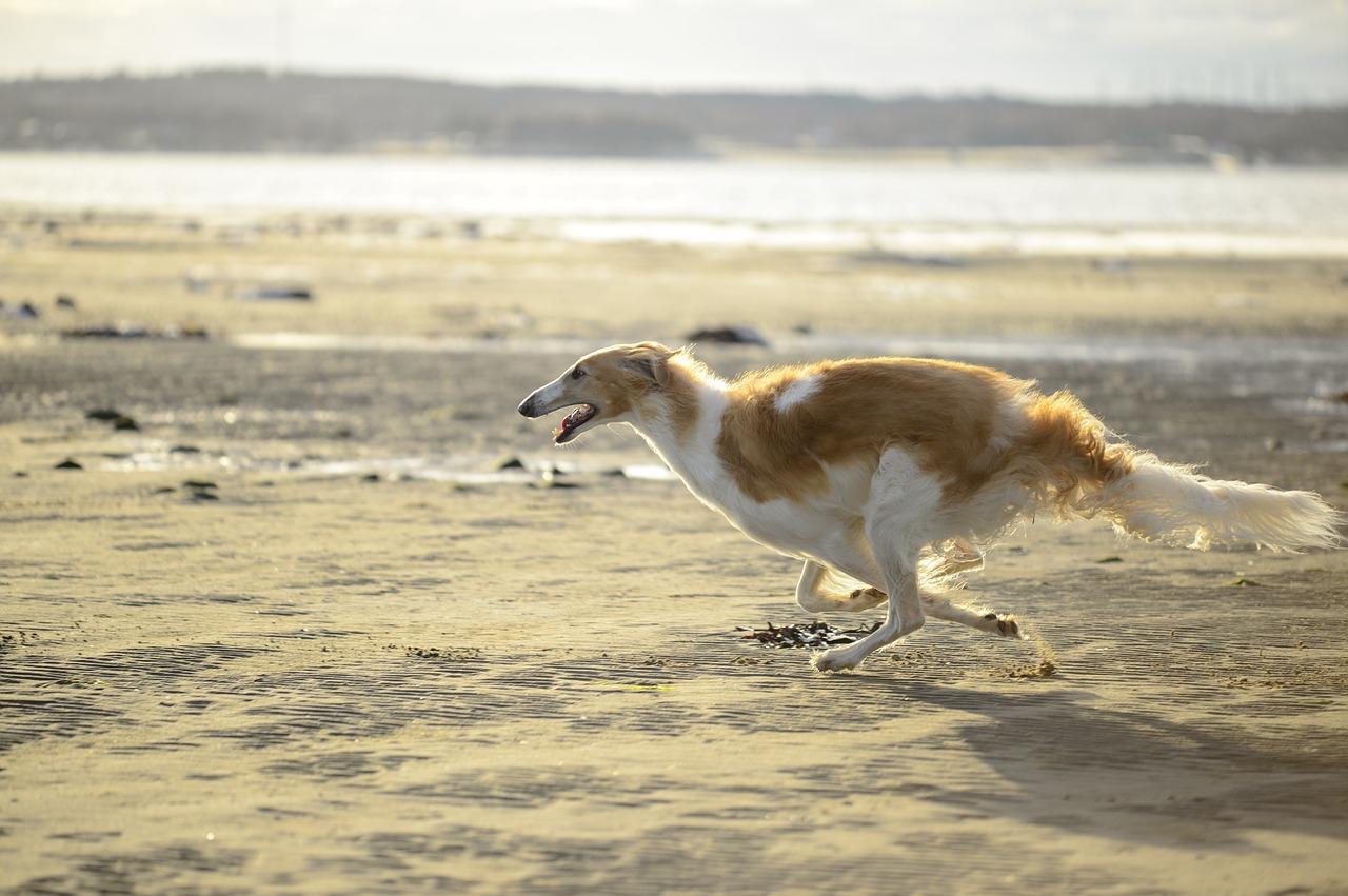 Snelste hondenras borzoi