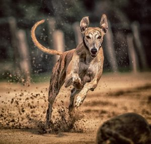 Snelste hondenrassen
