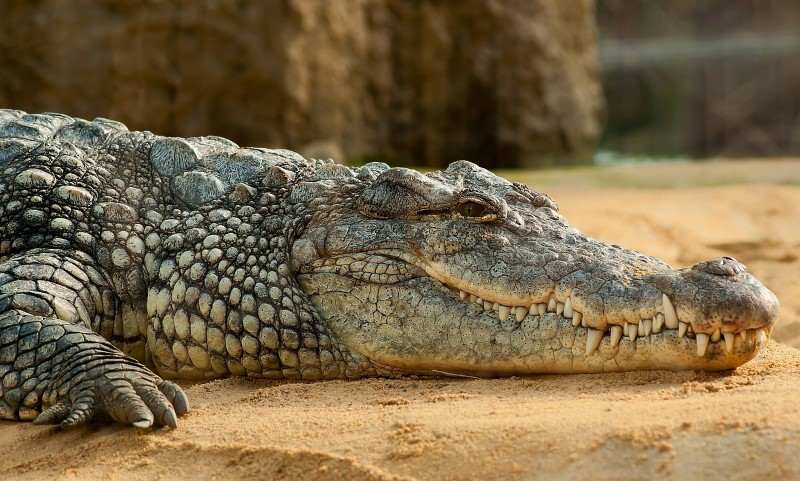 Krokodillen gevaarlijke dieren