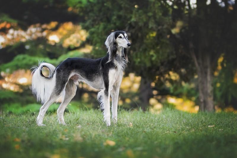 Top 10 snelste hondenrassen