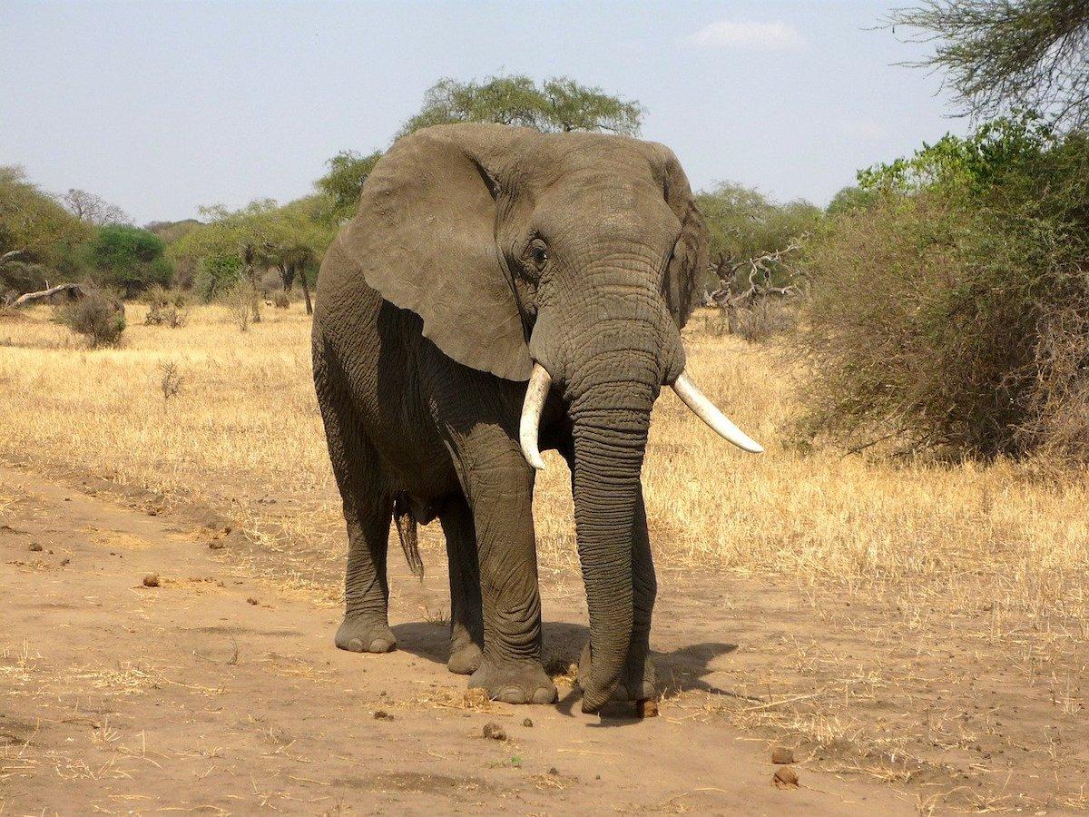 Savanne olifant