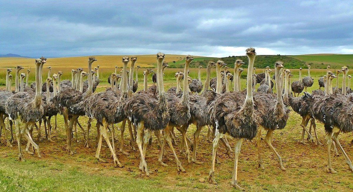 Struisvogel zwaarste vogel