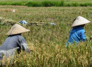 Opgroeien in het oude China Rijstvelden