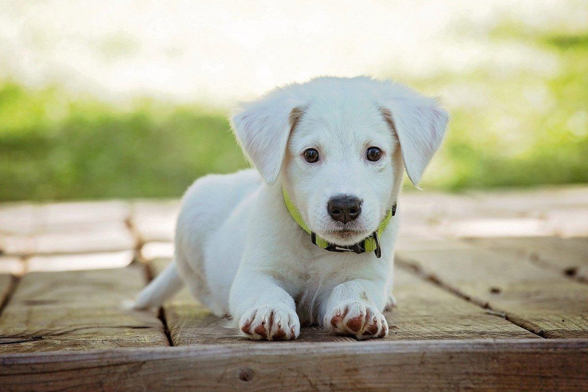 Hond populairste huisdier