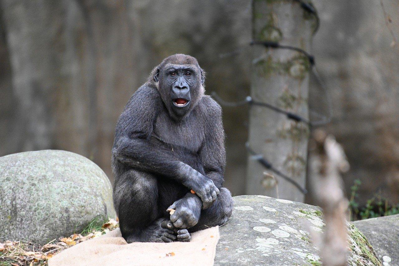 Beroemde gorilla