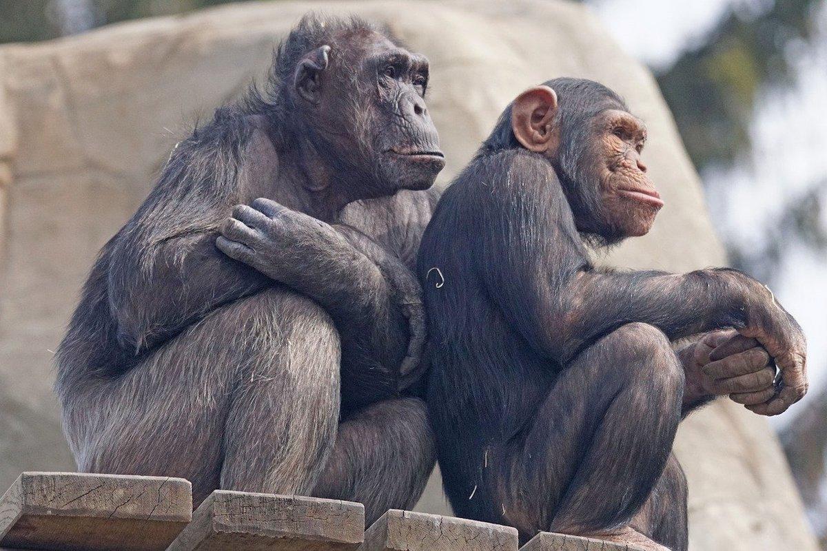 Chimpansees slimme dieren