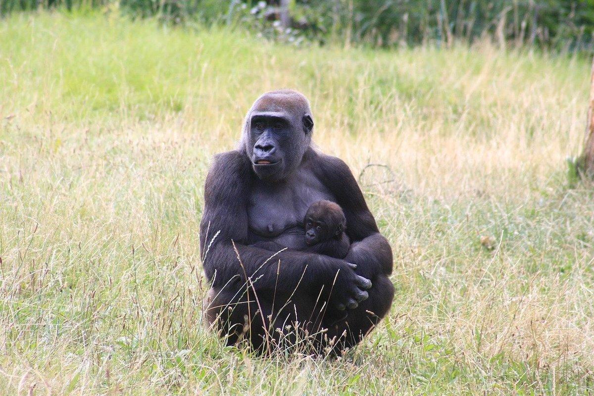Geboorte opvoeding Gorilla