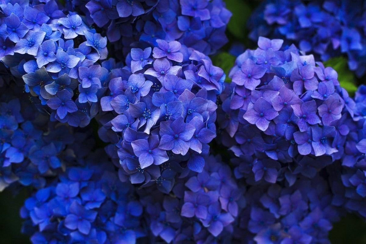 Struiken met blauwe bloemen