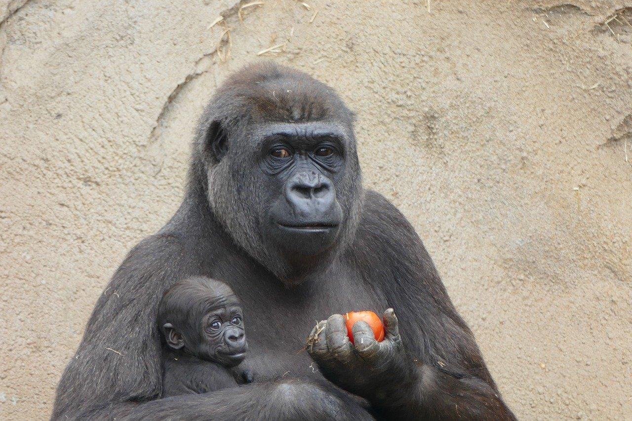 Wat eet een Gorilla?